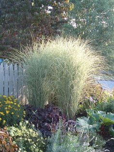 Miscanthus 'Morning Light' - tall grass adds simple beauty to a garden ! Back Gardens, Outdoor Gardens, Miscanthus Morning Light, Ornamental Grasses, Tall Grasses, Dream Garden, Garden Planning, Garden Projects, Backyard Landscaping