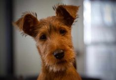 The Irish Terrier Dog Breed information, photos, history, temperament, health and general facts about the Irish Terrier Dog Breeds. Types Of Dogs Breeds, Toy Dog Breeds, Terrier Dog Breeds, Airedale Terrier, Welsh Terrier, Hound Dog, Low Energy Dogs, Black And Tan Terrier, Dog Breed Info
