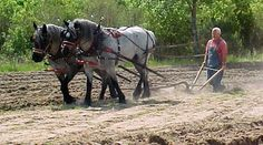 Mother daughter blue roan Percheron mares plowing in south Georgia (photo by Cindy Flowers).