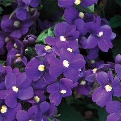 Safari® Plum - Nemesia fruticans | Proven Winners/Proven Selections-Prolific, sweetly scented plum-purple flowers all season; great for early spring and fall
