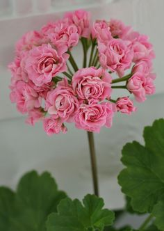 Houseplants That Filter the Air We Breathe Australian Pink Rosebud Exotic Flowers, Amazing Flowers, Love Flowers, Beautiful Roses, My Flower, Geranium Plant, Scented Geranium, Malva, Garden Plants