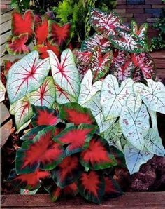 Canna seeds Black flower seed Perennial indoor or outdoor plants potted Large leaf flowering Bonsai plant for home garden love the hint of red Container Flowers, Container Plants, Container Gardening, Bonsai Plants, Garden Plants, House Plants, Caladium Garden, Shade Garden, Hosta Gardens
