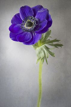 Anemone Poppy Anemone by Jacky Parker Floral Art,Poppy Anemone by Jacky Parker Floral Art, Flora Flowers, Anemone Flower, Flowers Nature, Exotic Flowers, My Flower, Beautiful Flowers, Cactus Flower, Purple Poppies, Purple Flowers