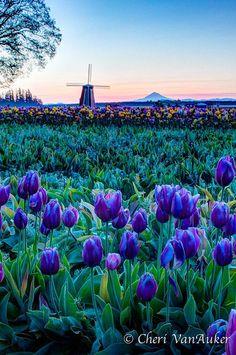 Wooden Show Tulip Festival, Oregon