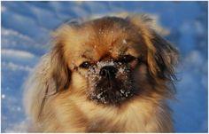 Tibetan Spaniel - Dog Breed |
