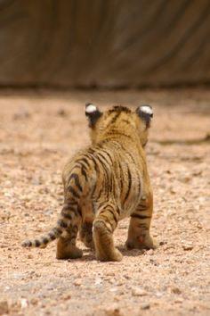 #cute #tiger