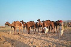 In Pushkar, you have the option to experience a camel safari that can last anywhere between one hour to a few days, where you can camp under the stars in the desert. What's your ideal length of camel-bonding time in India's vast landscapes?  Photo by @aditigupta20  Use #takemetoremotelands for a feature! by (remote_lands). wildlife #travelasia #sand #pushkar #travelgram #desert #instadaily #bucketlist #luxurytravel #offthebeatenpath #photography #safari #travelphotography #traveling #feature…