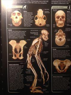 Skull Anatomy, Chimpanzee