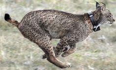 El lince ibérico deja la lista de animales en peligro crítico de extinción / @materia_ciencia | #readyfornaturalenvironment Extinct Animals, Wombat, Image Shows, Cat Breeds, Kangaroo, Giraffe, Cats, World, Iberian Lynx