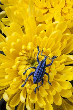 Blue Bug On Yellow Mum Photograph  - Blue Bug On Yellow Mum Fine Art Print