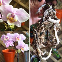 Mais uma mini phalaenopsis resgatada. Eu ainda não tinha nenhuma dessa cor e quando vi não resisti.   #saberesdojardim #orquidea #phalaenopsis #miniphalaenopsis #meujardim #minhasplantas #jardimnavaranda #orquideasnavaranda
