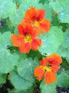 Impressionist Nasturtiums by Heidi Smith