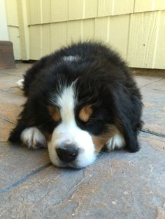 Bernese Mountain Puppy, Bernese Dog, Mountain Dogs, Baby Animals, Cute Animals, Romans, I Love Dogs, Fur Babies, Puppies