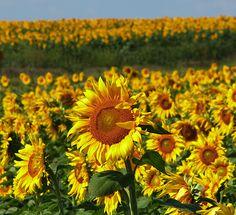 Beautiful field of sunflowers in Fairfield Iowa