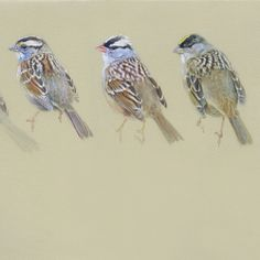 Image of Zonotrichia sparrows Catherine Hamilton