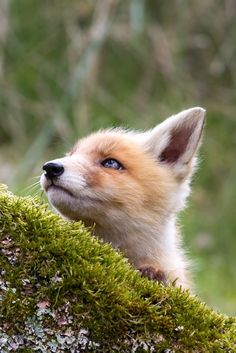 Precious red fox kit. Stare by Menno Schaefer: 0ce4n-g0d
