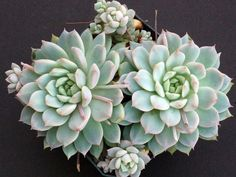 Echeveria prolifica (Prolific Echeveria) is a small clustering succulent plant with rosettes of silvery-green leaves that are just over...