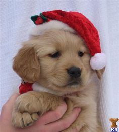 Christmas puppy: golden retriever puppy posted by northstargoldens