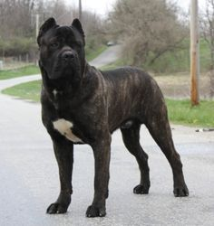 The Cane Corso is native to Italy. This breed is much more refined in appearance & structure than the Neapolitan mastiff, Italy's other molosser breed. Cane Corso Italian Mastiff, Cane Corso Mastiff, Cane Corso Dog, Giant Dog Breeds, Giant Dogs, Beautiful Dogs, Animals Beautiful, Animals And Pets, Hunting Dogs