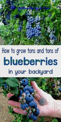 How to Grow Blueberries - Organic Gardening As most blueberry bushes can grow v. How to Grow Blueberries - Organic Gardening As most blueberry bushes can grow very large, the best option for a patio or other urban garden is to plant a dwarf variety. Organic Vegetables, Growing Vegetables, Growing Herbs, Growing Tomatoes, Organic Nutrients, Vegetables Garden, Veggies, Diy Jardin, Growing Blueberries
