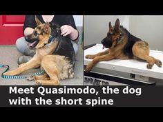 Meet Quasimodo, the dog with the short spine - YouTube