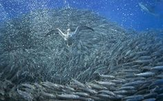 British photographer Christopher Swann took these amazing shots of dolphins and sharks preying on mackerel of the coast of Azores. The frightened mackerel swarm into these giant glistening balls in order to protect themselves from the impending attack. In the end, the predators win out over the 30-foot wide ball of prey.