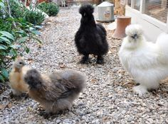 Silkies... One of the best chicken you can have with young children!! Seramas would be my 1st suggestion.