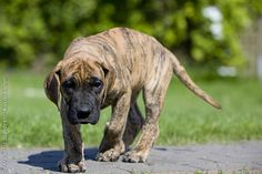 Baby Great Dane - brindle in colour
