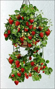 Strawberry plants can be planted in a hanging basket which keeps slugs, snails & rabbits from getting to the strawbe… Strawberry Hanging Basket, Strawberry Planters, Strawberry Garden, Fruit Garden, Edible Garden, Garden Pots, Hanging Baskets, Hanging Plants, Indoor Plants