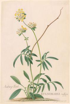 Georg Dionysius Ehret | Vulneriara rustica; Anthyllis Vulneraria (Kidney Vetch) | 1766 | The Morgan Library & Museum