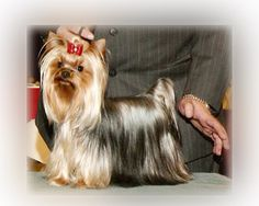 Teacup Yorkie Puppies For Sale | Teacup Yorkies Puppy Breeder MO