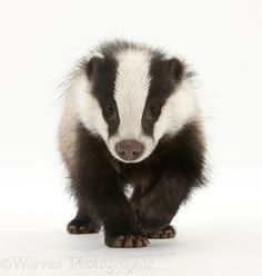 Young Badger photo