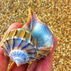 Beach treasure from sanibel island seashell Shells And Sand, Sea Shells, Sea And Ocean, Ocean Beach, Sanibel Beach, Sanibel Island, Seashell Art, Starfish, Shell Beach