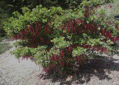 Ribes speciosum (fuchsia-flowered gooseberry)