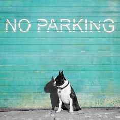I park this anywhere I want. •••••••••••••••••••••••••••••••••••••••••••••••••••••••• This is my entry for #colorsplashpup contest hosted by @pointandwag and @eleni_ralph_sylvie •••••••••••••••••••••••••••••••••••••••••••••••••••••••• We were tagged by @thebabebell to post a pic for #lookawaylook. I think this works perfectly.