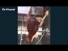 Orangutan extraordinary ability to ambient in prison