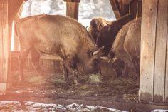 Rezervatia de Zimbri, Vama Buzaului, Pastel Chalet. Photo: Cosmin Lautar Pastel, Romantic, Horses, Animals, Cake, Animales, Animaux, Animal, Romance Movies