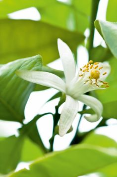 Neroli is considered to be amongst one of the finest perfumery ingredients.