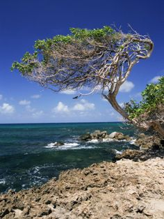 Divi Divi Tree, Cudarebe Point, Aruba, West Indies, Dutch Caribbean, Central America Photographic Print by Sergio Pitamitz at AllPosters.com