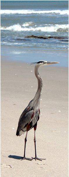 Great Blue Heron.....