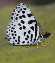 https://flic.kr/p/jz1fHE | Common Pierrot Butterfly | Common Pierrot (Castalius rosimon) Koshi Tappu Wildlife Reserve, Nepal
