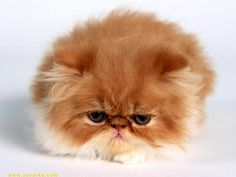 angry cat ball