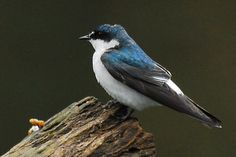 mangrove swallow (Tachycineta albilinea) is a passerine bird in the swallow family that breeds in coastal regions from Mexico through Central America to Panama - Wikipedia