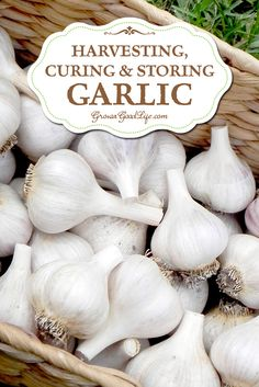 It is always a delicate balance between allowing the garlic to mature to their fullest and going too far. Lifting the garlic too early will result in undersized bulbs that won't store well. Harvesting too late and you risk the bulbs splitting through their skins leaving them unprotected and unable to withstand long term storage. Learn the ideal time to harvest and how to cure the bulbs for long-term winter storage.