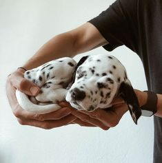 Cute Dogs And Puppies, Big Dogs, Tiny Puppies, Lab Puppies, Doggies, Animals And Pets, Baby Animals, Sleeping Puppies, Dalmatian Dogs