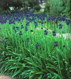 le diplad nia est une plante grimpante au feuillage persistant et la floraison abondante en. Black Bedroom Furniture Sets. Home Design Ideas