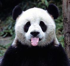 #pandacık