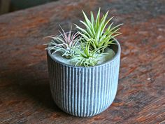 Air plant care: some good tips on caring for your air plants (read this if you're thinking of purchasing some) | Air Plant Design Studio #airplants #airplantcare