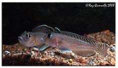 'Lamprologus' sp. ''Ornatipinnis Kigoma''  Lake Tanganyika, Africa
