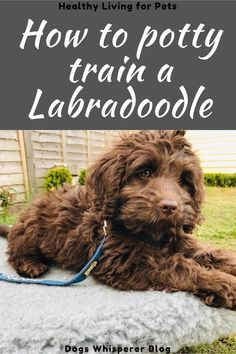 F1b Labradoodle, Australian Labradoodle, Labradoodles, Cavapoo, Labordoodle Puppy, Puppy Schedule, Puppy Grooming, Dog Whisperer, Sleeping Puppies